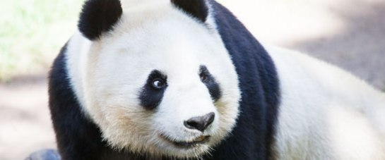 visit-panda-china-globotours